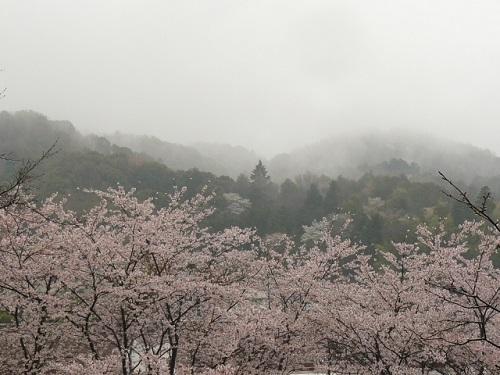 サクラが咲き出すとロマンティックな気分を愉しむ!