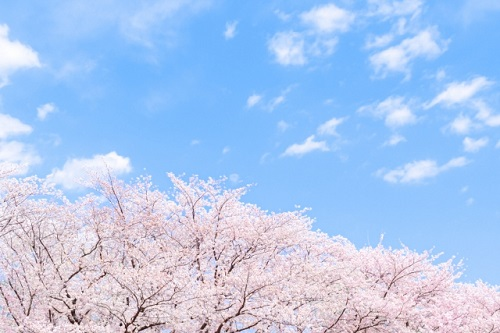 ソメイヨシノは江戸時代のカリスマ集団によって造られた!
