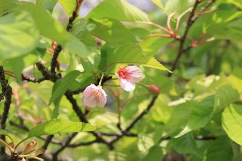 【花冷え】日本には素敵な言葉がいっぱい!葉桜の季節は小野小町の短歌を思い出す